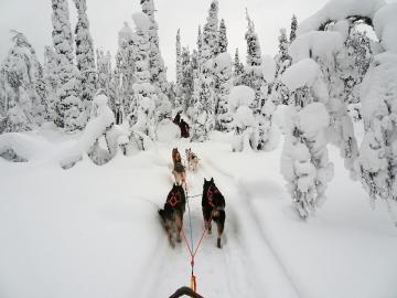 Dog sleds. - Dog sledding in Lapland.