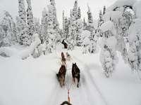 Traîneaux à chiens. - Traîneau à chiens en Laponie.
