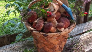 Basket of porcini mushrooms. - Now is the time to use them. I will already be buried in fungus.