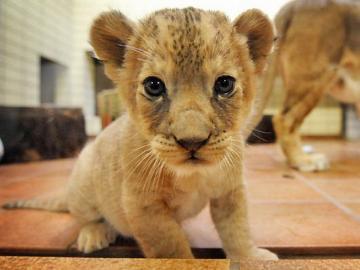 dziecko lew - ładny lew dziecka w mieszkaniu