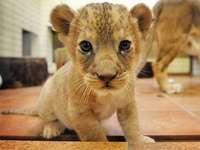 bébé lion - mignon bébé lion en appartement