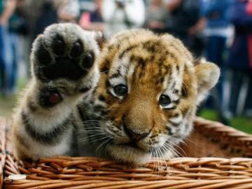 baby tiger - cute baby tiger in basket