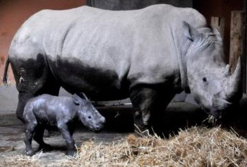 baby rhino - baby rhino next to mother
