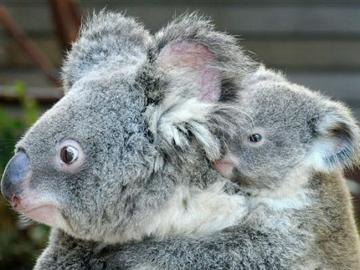 baby koala - baby koala with mother