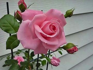 Рубелла. - Цветя. Розова роза.
