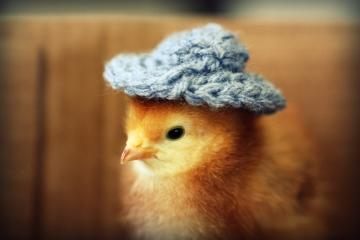 chick with cap - sweet chick with a hat