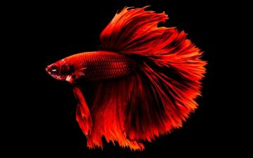 fighting fish - fighting fish in the aquarium