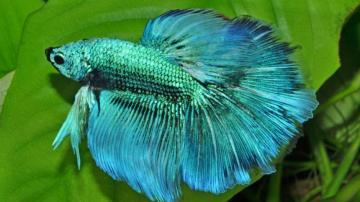 fighting fish - beautiful turkish fighting fish