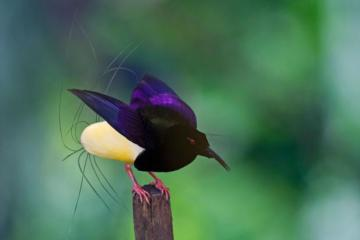 bird of paradise - paradise bird commonsicated
