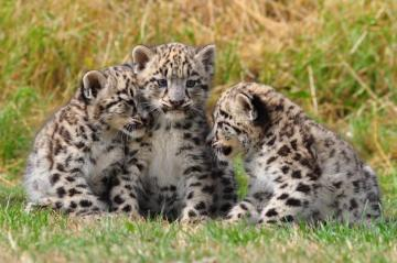 leopards - Baby leopard on meadow