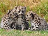 panthères - Bébé léopard sur Prairie