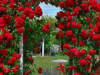 Piros hegymászó rózsa.