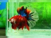 ghjkluzq23werkoiu765432qiu56 - Walki ryb. Waeopliq1ashjkotzewaioue45wqrtzuio4532q. Kolorowe ryby walczące w akwarium.