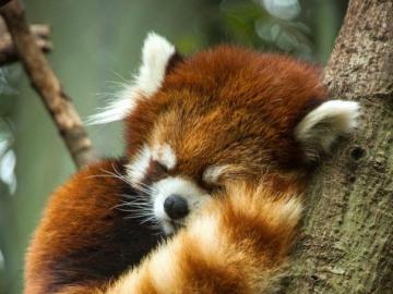 red panda - red panda between branches