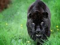 Panthère noire - Animaux. Panthère noire