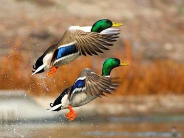 Divoké kachny - Divoké kachny divoké