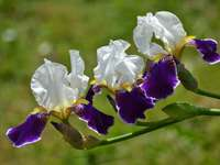 Irises-colorful flowers - Irises - colorful flowers of various shapes