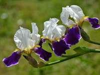 Цветни ириси цветя - Цветни ириси с различни форми