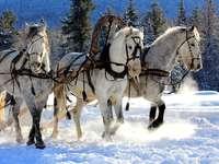 Týmové koně.