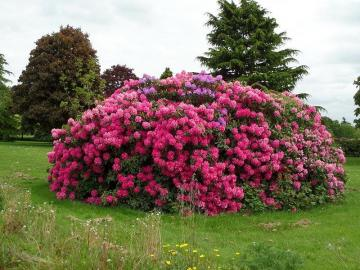 Rhododendron - Flowers category. Rhododendron.