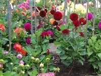 Kleurrijke dahlia's. - Bloemen. Kleurrijke dahlia's.