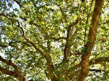 Gruener Baum - ein blühender Baum im Sommer