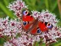 Butterfly-pawik