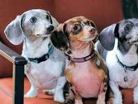 família de cachorro