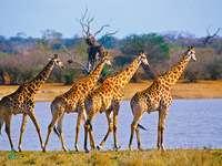 Vier giraffen - Dieren. Vier giraffen