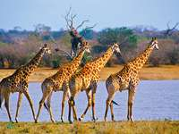 Négy zsiráf