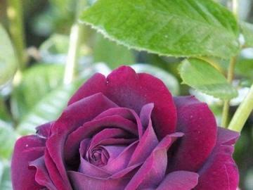 belle rose - Belle rose-reine des roses