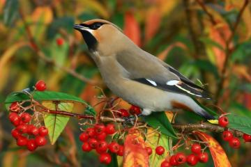 colorful autumn - colorful autumn, waxwing