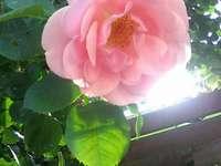 Uma rosa em um dia ensolarado