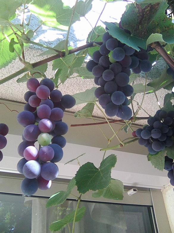 grapes - Grapes ripening in the sun (8×8)