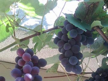Trauben - Trauben, die in der Sonne reifen