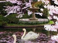 Japonská třešeň - Japonská sakura - kvetoucí třešeň