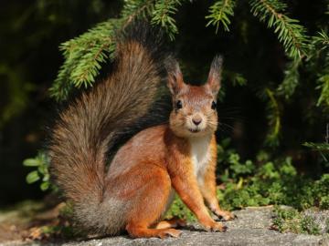 Red squirrel - Animals. Red squirrel.