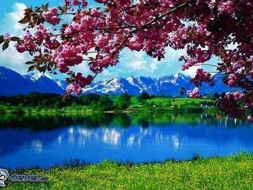 a blooming magnolia - a blossoming magnolia, landscape