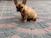 Francia bulldog - Francia bulldog rejtvény