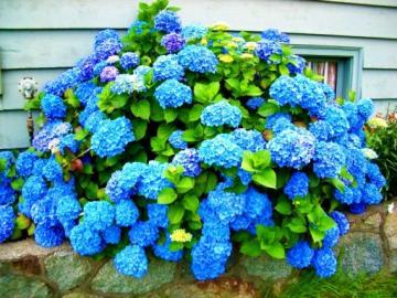 Hortensia bleu - hortensia bleu-fleurs.