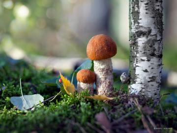 two mushrooms - Dwa grzybki w lesie