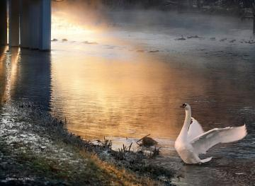 Swan on the lake - Swan on the lake in the evening