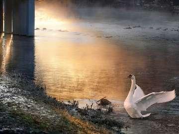 Łabędz na jeziorze - Łabędz na jeziorze wieczorem