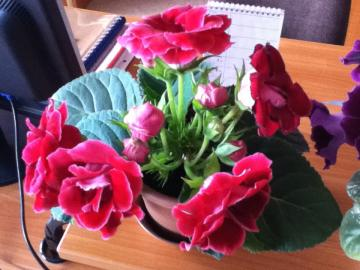 gloxinia - my flowers which I have brought down