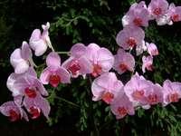 ορχιδέα τριαντάφυλλο
