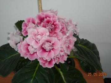 pink gloxinia - a beautiful specimen of thriving gloxinia