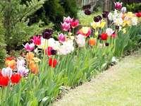 Flores da Primavera - tulipas, daylilies, açafrões, jacintos, narcisos, íris