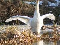 cisne - cisne branco nadando no Warta