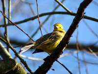Emberiza em uma árvore - O pássaro na árvore está procurando comida