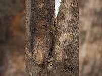wijze uil - camouflage op de boom